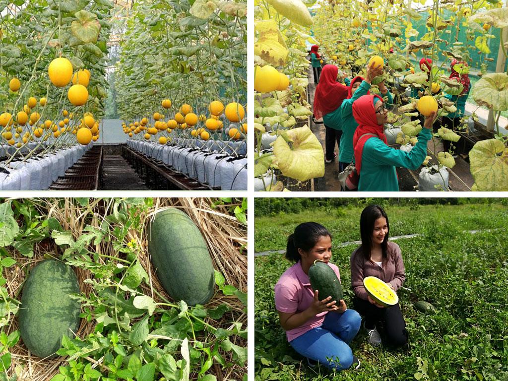 Taman Buah Mekarsari di Bogor menawarkan wisata petik melon  dengan fasilitas edukasi dan permainan lain